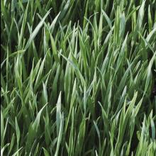 Winterrogge / Snijrogge (groenbemester) 25kg